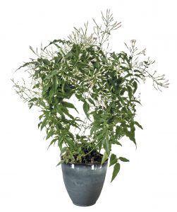 Jasmijn plant slaapkamer
