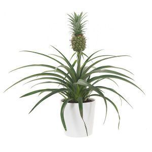 Ananasplant plant slaapkamer