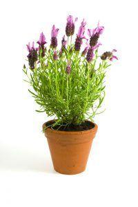 Lavendel plant slaapkamer