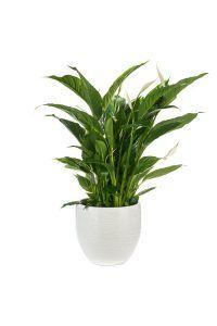 Lepelplant plant slaapkamer