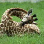 Ken jij iemand die ook zoveel dutjes doet als een giraffe?