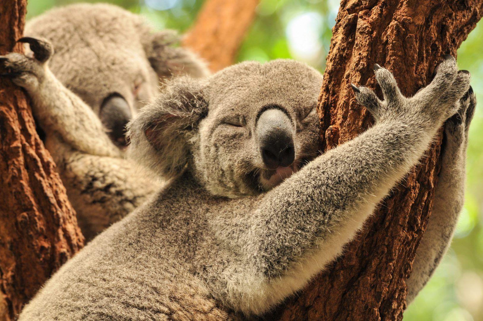 Net als een koala in een boom slapen