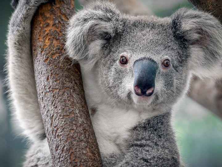 Wie is er net zo lui als een koala?