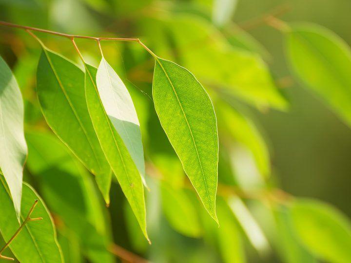 Tencel is afkomstig van eucalyptusbomen
